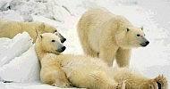 Ansiedad y osos polares